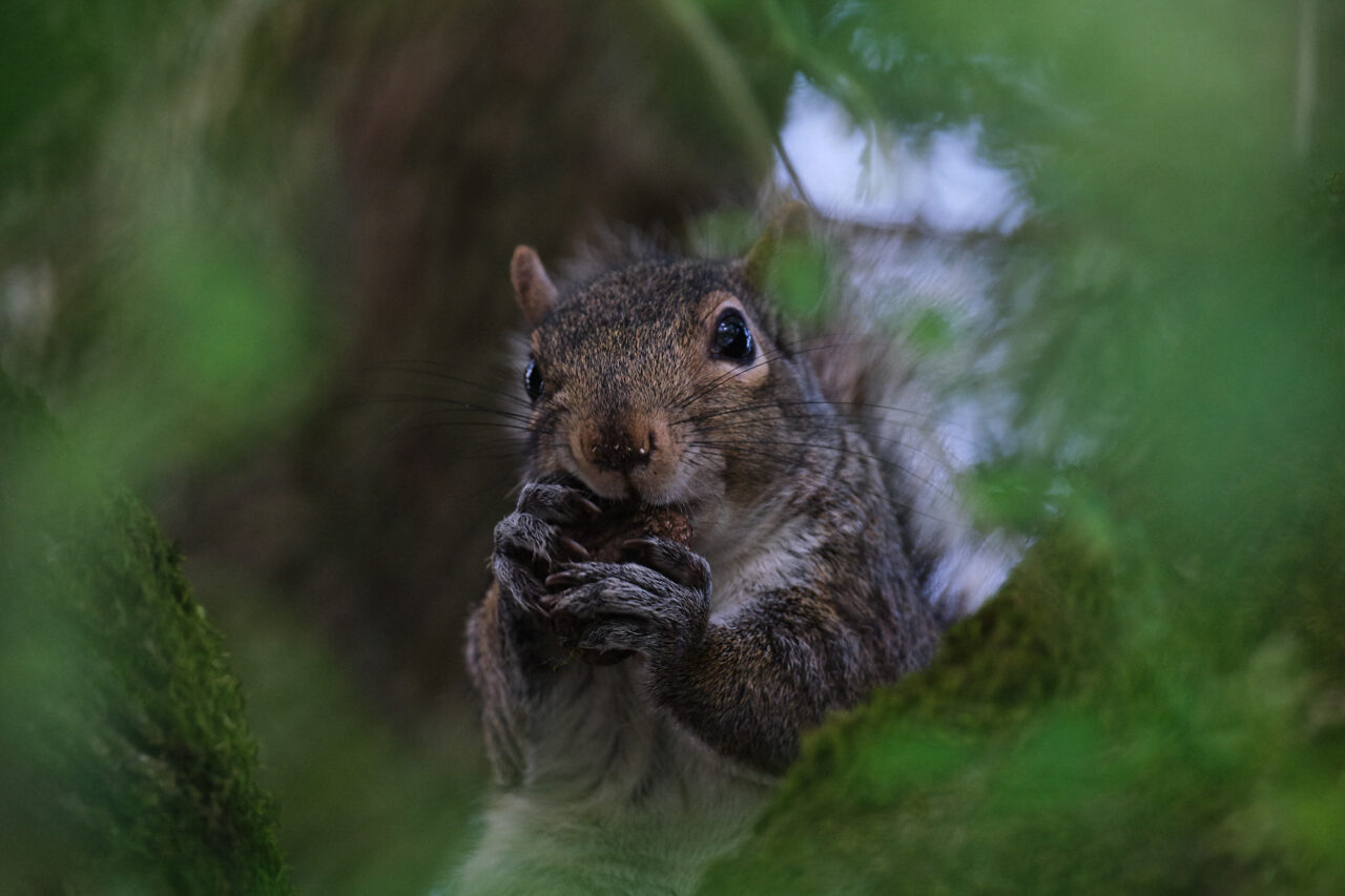 loud chewing squirrel